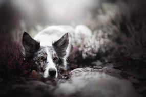 животные, собаки, вереск, боке, взгляд, собака