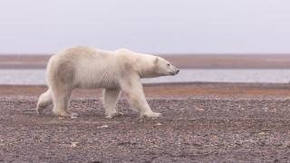 Аляска, Полярный медведь, Белый медведь