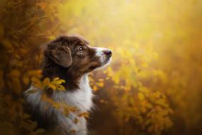 животные, собаки, осень, ветки, профиль, морда, австралийская, овчарка, аусси, портрет, собака