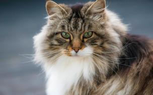 Норвежская лесная кошка, кошка, мордочка, портрет, взгляд, пушистая, кот