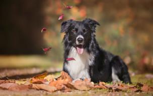 животные, собаки, собака, взгляд, боке, бордер-колли, язык, осень, листья