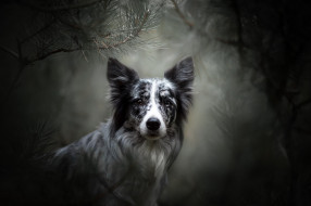 животные, собаки, морда, ветки, бордер-колли, боке, портрет, взгляд, собака