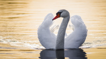 вода, крылья, лебедь, птица, шея