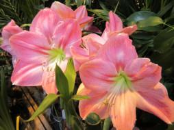цветы, амариллисы,  гиппеаструмы, аммарилисы