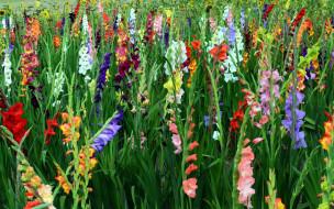 обои для рабочего стола 1920x1200 цветы, гладиолусы, много
