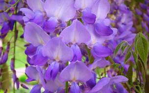 цветы, глициния, вистерия