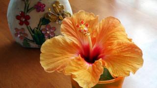 обои для рабочего стола 1920x1080 цветы, гибискусы, макро