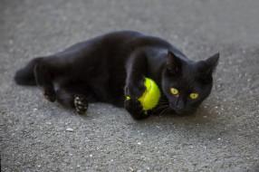кот, животные, коты, черный