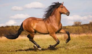 животные, лошади, конь, гнедой, бег, движение, галоп, скачет, грация, мощь, луг, простор, лето