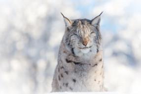 животные, рыси, кошка, мех, свет, жмурится, снег, зима, портрет, морда, хищник