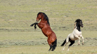 животные, лошади, мощь, степь, пегий, гнедой, пара, простор, грация, дикие, кони