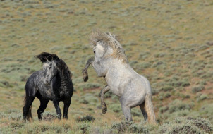 животные, лошади, тёмно-серый, светло-серый, пара, дикие, кони, простор, красавцы, грация, борьба, мощь, степь, грива, драка, ссора, разборка