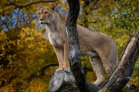 животные, львы, львица, кошка, хищник, стоит, поза, позирует, бревно, осень, зоопарк