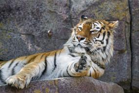 кошка, хищник, отдых, лапа, морда, лежит, амурский, зоопарк