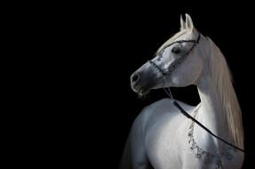 животные, лошади, конь, белый, арабский, позирует, свет, контраст