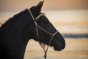 животные, лошади, конь, вороной, морда, профиль, закат, свет, красавец