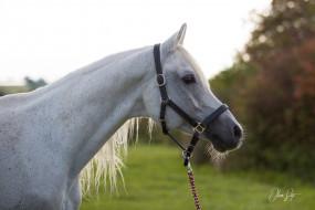 животные, лошади, конь, серый, морда, профиль, недоуздок