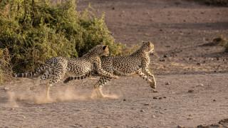 кошки, саванна, игра, бег, Африка, хищники, пара, молодые
