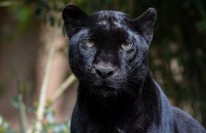 животные, пантеры, чёрный, леопард, портрет, морда, хищник