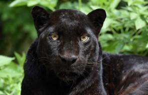 животные, пантеры, морда, хищник, кошка, чёрный, леопард, портрет