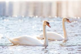 пара, белый, свет, водоём, птицы, грация