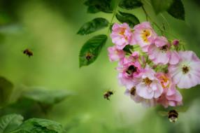 насекомые, шмели, цветы, макро, роза, ветка