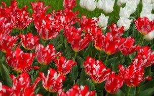сад, лепестки, тюльпаны