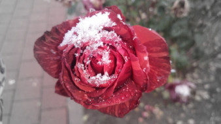 первый снег, 2017, роза