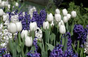 тюльпаны, гиацинты