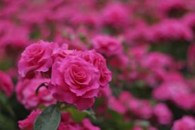 розы, розовые, бутоны, цветение