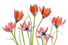 тюльпаны, светлый фон, цветы