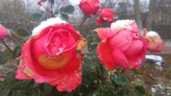 роза, первый снег, 2017