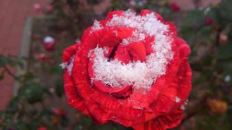 первый снег, роза, 2017