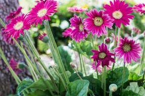 цветы, кустик, герберы, цветение