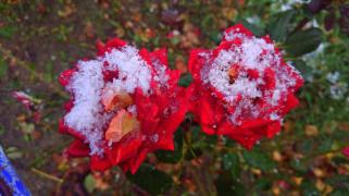 цветы, розы, первый, снег, 2017