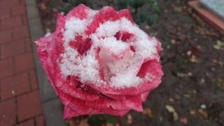 роза, 2017, первый снег