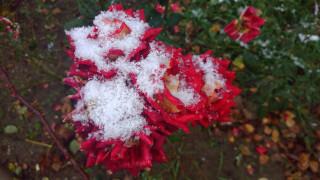 цветы, розы, 2017, роза, первый, снег