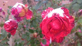 цветы, розы, первый, снег, 2017, роза