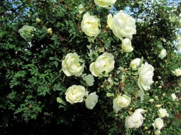 цветы, розы, белый