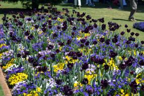 цветы, разные вместе, клумба, тюльпаны, анютины, глазки