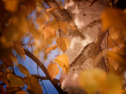 природа, листья, листва, макро, кора, ствол, берёза, дерево, цвет, жёлтый, осень, размытие