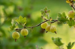 природа, Ягоды, крыжовник, ветка, листочки, зелёный, макро, урожай