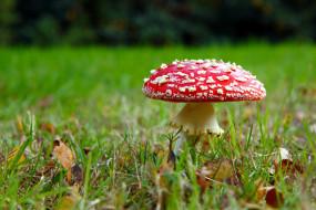гриб, трава, шляпка, листья