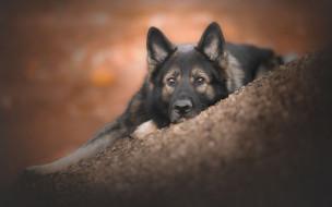 животные, собаки, боке, взгляд, морда, собака, овчарка