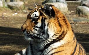 животные, тигры, профиль