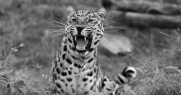 животные, леопарды, оскал