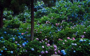 цветы, гортензия, много