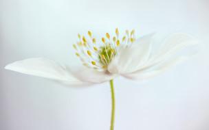 цветы, луговые , полевые,  цветы, тычинки, белый, цветок