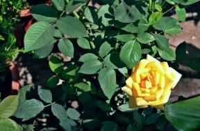 цветы, розы, желтый