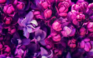 цветы, сирень, весна, lilac, цветение, blossom, purple, spring, flowers